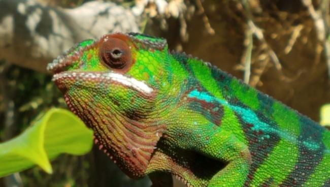 Cleveland Bob (iguana)